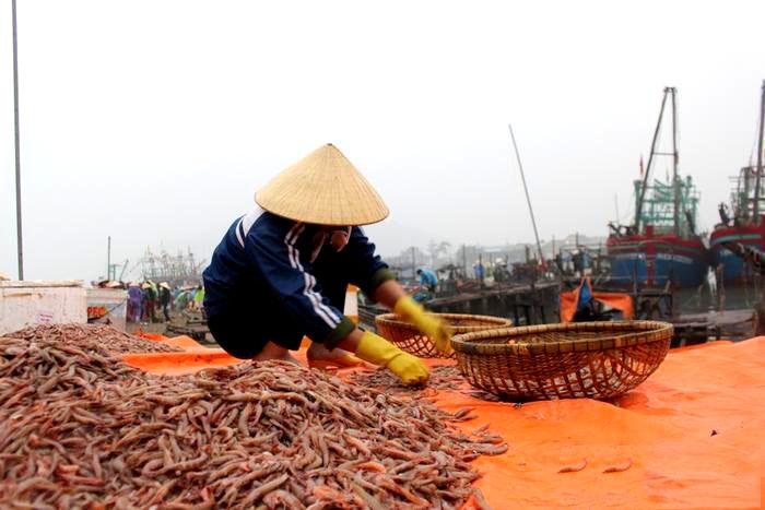 Khai thác tôm biển tại Nghệ An
